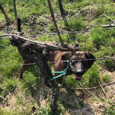 Alarich vom Hirschkreuz, Maximilians Hund, ist auch immer mit dabei, wenn neue Weine entdeckt werden!